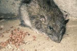 mice in vents
