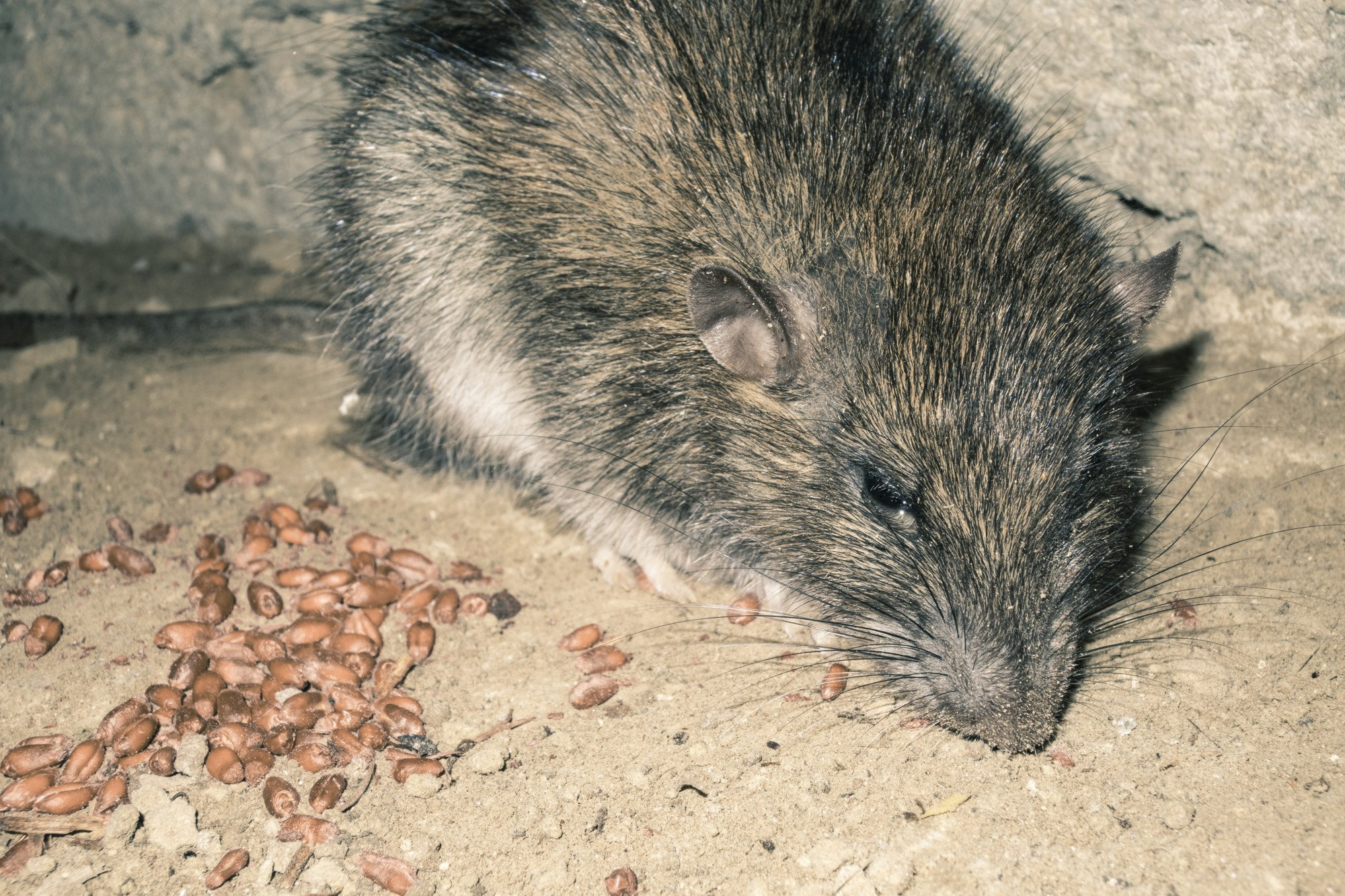 uninvited guests what to do about mice in vents and your hvac